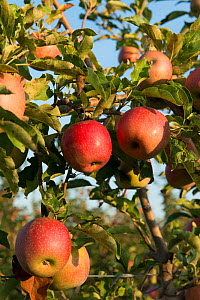 Ripe 'Joya' apples on tree , Arles, Camargue, France, September.  -  Jean E. Roche