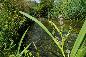 Branched bur-reed (Sparganium erectum) flowering in a small stream with white female flowers with protruding white styles and the spiky burs they develop into below, and rounder male flowers on branch... - Nick Upton