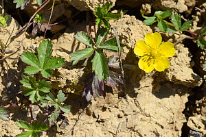 Creeping cinquefoil (Potentilla reptans) flowering in a dried out marshy pool in grassland, Cornwall, UK, June.  -  Nick Upton