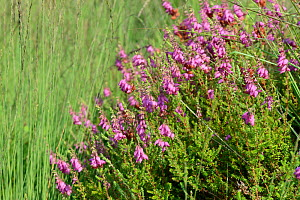 Dorset heath / Ciliate heath (Erica ciliaris) flowering on the fringes of a marsh, Stoborough heath, Dorset, UK, July.  -  Nick Upton