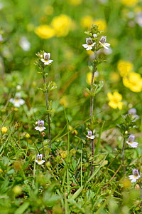 Eyebright (Euphrasia sp.) flowers among a carpet of Tormentil (Potentilla erecta) , Davidstow Woods, Cornwall, UK, June.  -  Nick Upton