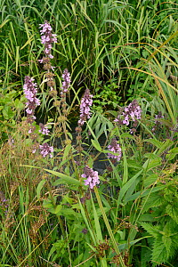 Marsh woundwort (Stachys palustris) clump flowering by a stream, Winfrith Heath, Dorset, UK, July.  -  Nick Upton