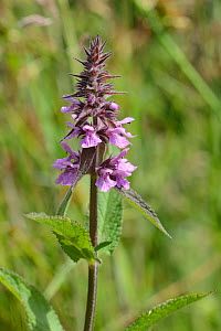 Marsh woundwort (Stachys palustris) flowering by a stream, Winfrith Heath, Dorset, UK, July.  -  Nick Upton