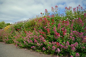 Mass of Flowering Red Valerian (Centranthus ruber) alongside Asters and other ornamental flowers, covering a garden wall, near Bude, Cornwall, UK, June. - Nick Upton