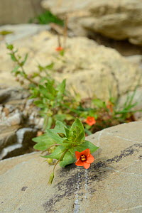 Scarlet pimpernel (Anagallis arvensis) growing on seashore at the base of a cliff, Cornwall, UK, September.  -  Nick Upton