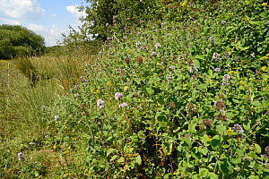 Dense clump of Water mint (Mentha aquatica) flowering on the edge of a marsh, Corfe Common, Dorset, UK, July.  -  Nick Upton