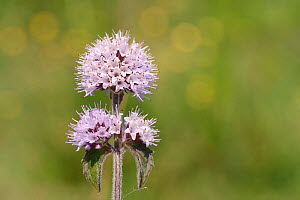Water mint (Mentha aquatica) flowering on the edge of a marsh, Corfe Common, Dorset, UK, July.  -  Nick Upton