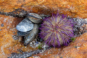 Cape sea urchin (Parechinus angulosus) and Mediterranean mussels (Mytilus galloprovincialis) on rock, Cape Province, South Africa, December.  -  Michael Hutchinson