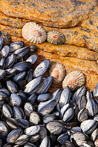 Mediterranean mussels (Mytilus galloprovincialis) and limpets on rock, Cape Province, South Africa, December.  -  Michael Hutchinson
