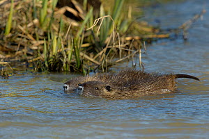 Coypu (Myocastor coypus) juveniles in water, Vendee, France, February. - Loic  Poidevin