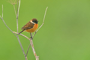 European stonechat (Saxicola rubicola) male on branch, Breton Marsh, Vendee, France, December. - Loic  Poidevin