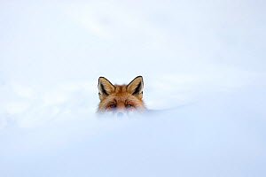 European red fox (Vulpes vulpes crucigera) in deep snow, with just eyes and ears visible above snow. Gran Paradiso National Park, Italy. December  -  David  Pattyn