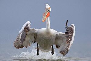 Dalmatian pelican (Pelecanus crispus) taking off from water, Lake Kerkini, Greece. February. Vulnerable species. - David  Pattyn