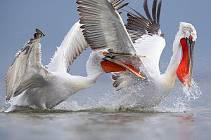 Dalmatian pelicans (Pelecanus crispus) fighting for fish. Lake Kerkini, Greece. February. Vulnerable species.  -  David  Pattyn
