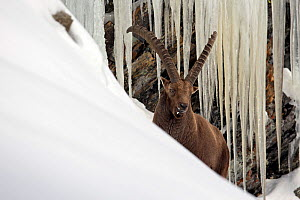 Alpine ibex (Capra ibex) male in deep snow with icicles behind, Gran Paradiso National Park, Italy. December  -  David  Pattyn