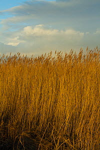 Common reed (Phragmities communis), Steart Marshes Wildfowl and Wetland Trust, Somerset, UK, February 2015.   This area has been allowed to flood by the WWT and the Environment Agency to create new sa...  -  David  Woodfall