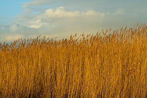 Common reed (Phragmities communis), Steart Marshes Wildfowl and Wetland Trust, Somerset, UK, February 2015.  This area has been allowed to flood by the WWT and the Environment Agency to create new sal...  -  David  Woodfall