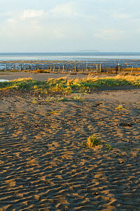Marram grass (Ammophila arenaria) and lyme grass (Elymus sp) washed by exceptionally high spring tide, Steart Marshes Wildfowl and Wetland Trust, Somerset, UK.  The Environment Agency and the WWT has...  -  David  Woodfall