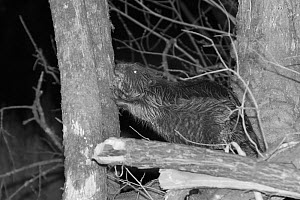 Eurasian beaver (Castor fiber) male using its teeth to strip bark from a Willow tree (Salix sp.) in woodland enclosure at night, Devon Beaver Project, run by Devon Wildlife Trust, Devon, UK, April. Ta...  -  Nick Upton
