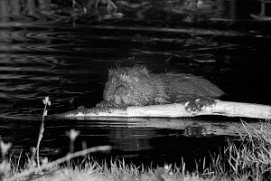 Eurasian beaver (Castor fiber) holding a stick with its front feet and gnawing off the bark. At feeding station at the margin of pond in woodland enclosure at night. Devon Beaver Project, run by Devon...  -  Nick Upton