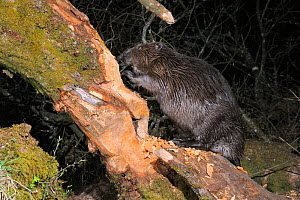Eurasian beaver (Castor fiber) gnawing the trunk of a Willow tree (Salix sp.) in woodland enclosure at night. Devon Beaver Project, run by Devon Wildlife Trust, Devon, UK, April. Taken by a remote cam... - Nick Upton