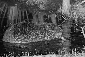 Eurasian beaver (Castor fiber) holding a stick in a front foot and gnawing off the bark. At feeding station at the margin of pond in woodland enclosure at night. Devon Beaver Project, run by Devon Wil...  -  Nick Upton
