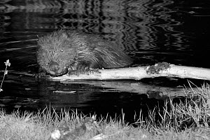 Eurasian beaver (Castor fiber) holding a branch and rolling it with its front feet and gnawing off the bark. At feeding station at the margin of pond in woodland enclosure at night. Devon Beaver Proje...  -  Nick Upton