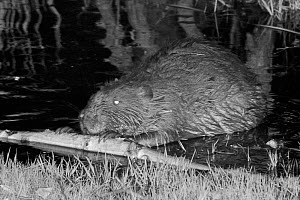 Eurasian beaver (Castor fiber) holding and rolling a cut branch with its front feet and gnawing off the bark. At feeding station at the margin of pond in woodland enclosure at night. Devon Beaver Proj...  -  Nick Upton
