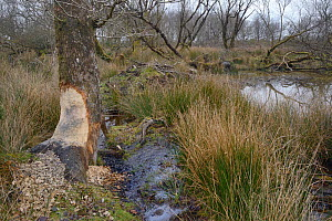 Willow tree (Salx sp.) gnawed by Eurasian beavers (Castor fiber) with their lodge and pond in the background within a large woodland enclosure, Devon Beaver Project, Devon Wildlife Trust, Devon, UK, F...  -  Nick Upton
