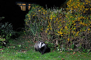 European badger (Meles meles) crossing a garden lawn soon after dark close to a house and flowering Forsyhia hedge, Wiltshire, UK, April.  Taken by a remote camera trap.  -  Nick Upton