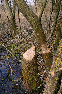 Young Willow trees (Salix sp.) felled and gnawed by Eurasian beavers (Castor fiber), Gloucestershire, UK, April.  -  Nick Upton