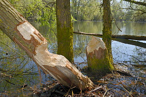 Willow trees (Salix sp.) gnawed and felled by Eurasian beavers (Castor fiber), Wiltshire, UK, April.  -  Nick Upton