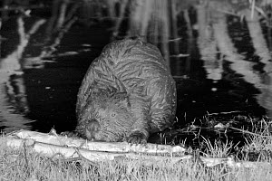 Eurasian beaver (Castor fiber) holding a branch and rolling it with its front feet and gnawing off the bark at a feeding station in the margins of a pond, in enclosure at night, Devon Beaver Project,...  -  Nick Upton