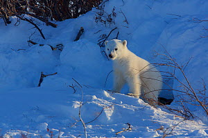 Polar bear (Ursus maritimus) cub at entrance to den, Manitoba, Canada. March.  -  Todd  Mintz