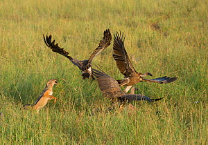 Black-backed Jackal (Canis mesomelas) trying to fight off White-backed vultures (Gyps africanus) whilst scavenging Cape buffalo carcass hidden in the grass. Tarangire National Park, Tanzania  -  Charlie  Summers