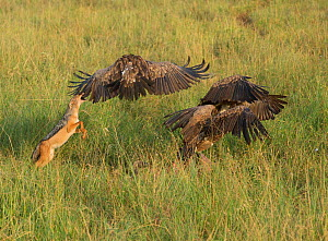 Black-backed Jackal (Canis mesomelas) fighting White-backed vultures (Gyps africanus) whilst scavenging Cape buffalo carcass hidden in the grass. Tarangire National Park, Tanzania  -  Charlie  Summers