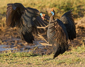 Helmeted guineafowl (Numida meleagris) fighting, Lake Ndutu, Serengeti, Tanzania. - Charlie  Summers