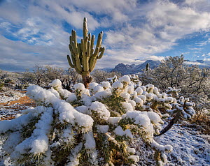 View east from Catalina State Park, Saguaro cacti, (Carnegiea gigantea) and Cholla (Cylindropuntia) in snow, with Santa Catalina Mountains, Sonoran Desert, Arizona, USA. January 2015.  -  Jack  Dykinga