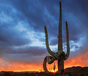 Saguaro cactus (Carnegiea gigantea) at sunset, with drooping frost damaged limbs, South Maricopa Mountains Wilderness, Sonoran Desert National Monument, Arizona, USA, March.  -  Jack  Dykinga