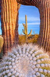 Frost damaged Saguaro cactus (Carnegiea gigantea) in the South Maricopa Mountains Wilderness, Arizona, USA. January.  -  Jack  Dykinga