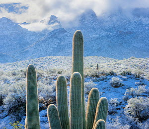 View east from Catalina State Park, with snow covered Saguaro cacti (Carnegiea gigantea) with Cholla (Cylindropuntia) with Santa Catalina Mountains in the background. Arizona, USA, January 2015.  -  Jack  Dykinga