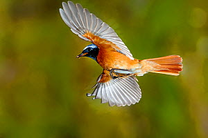 Redstart (Phoenicurus phoenicurus) male flying to nest with prey, France  -  Poinsignon  and Hackel