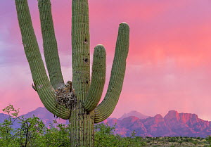 Great horned owl (Bubo virginianus) chicks in nest in Saguaro cactus (Carnegiea gigantea) at sunset, Santa Catalina Mountains, Arizona, USA, May.  -  Jack Dykinga