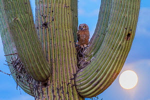Great horned owl (Bubo virginianus) chick nesting in Saguaro cactus (Carnegiea gigantea), Santa Catalina Mountains, Arizona, USA, May. - Jack Dykinga