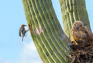 Great horned owl (Bubo virginianus) chick nesting in Saguaro cactus (Carnegiea gigantea) and Gila woodpecker (Melanerpes uropygialis) landing at nest hole, Santa Catalina Mountains, Arizona, USA, May. - Jack  Dykinga