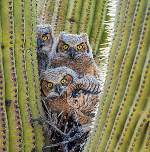 Great horned owl (Bubo virginianus) chicks nesting in saguaro cactus (Carnegiea gigantea), near Oracle, Sonoran Desert, Arizona, USA, May.  -  Jack Dykinga