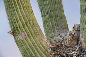 Great horned owl (Bubo virginianus) chicks nesting in Saguaro cactus (Carnegiea gigantea) and Gila woodpecker (Melanerpes uropygialis) at nest hole, Santa Catalina Mountains, Arizona, USA, May. - Jack  Dykinga