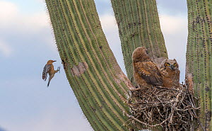 Great horned owl (Bubo virginianus) chicks nesting on Saguaro cactus (Carnegiea gigantea) and Gila woodpecker (Melanerpes uropygialis) landing at nest hole, Santa Catalina Mountains, Arizona, USA, May... - Jack  Dykinga