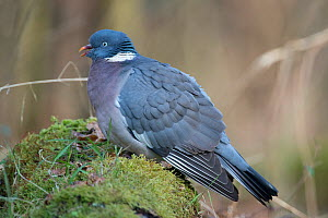 Common woodpigeon (Columba palumbus) resting in a woodland glade. Lower Saxony, Germany, February. - Roger Powell