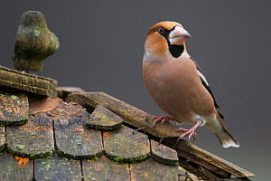 Hawfinch (Coccothraustes coccothraustes coccothraustes) male perched on roof of bird table. Lower Saxony, Germany, February.  -  Roger Powell